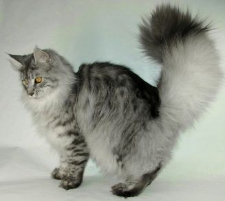 #MaineCoon #Black #Silver #Mackerel ns 23 Maine Coon - CH Maine Delite's Stormy