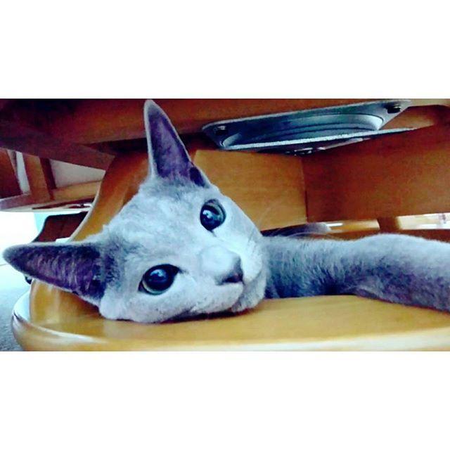 *3枚post♡ 走り回り過ぎてお疲れのエル👑 椅子の下で休憩中〜。ฅ•ω•ฅ  #猫 #ねこ #ロシアンブルー #男の子 #子猫 #7ヶ月 #元気いっぱい #暴れん坊 #疲れて #休憩中 #エル #愛猫 #癒し #ネコ #可愛い #猫好き #cat #russianblue #cute #love #🐾