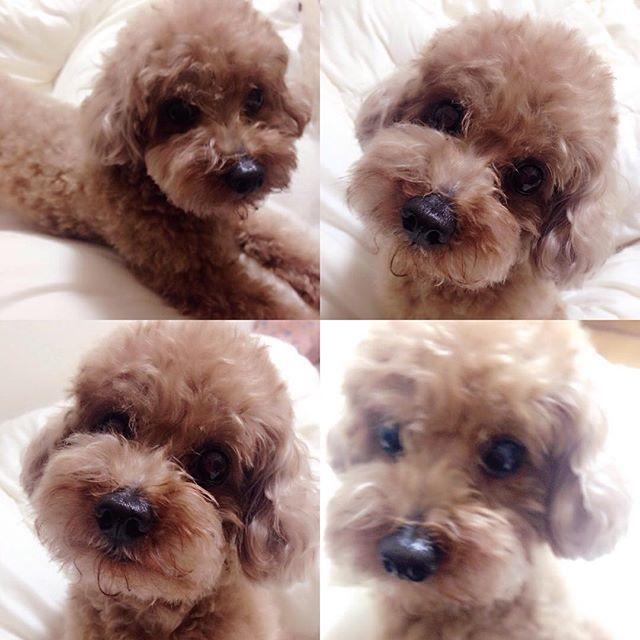 寝ようと思って横になると顔を近づけ目で訴えてくる僕…🐶🐾もう寝る時間です〜💤今日は☔️だったから散歩行けてないからかなぁ〜😱 明日はしっかり散歩しないとね〜❤️ #トイプードル#トイプードルレッド #トイプードルレッド男の子 #愛犬