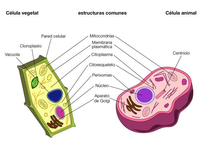 partes celula vegetal 5 primaria - Buscar con Google
