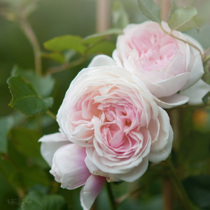 """english rose """"Heritage"""""""