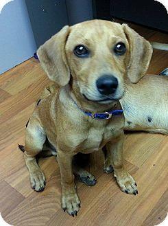 Lisbon, OH Dachshund/Beagle Mix. Meet Dallas, a puppy