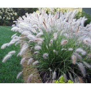 Ornamental grass 39 hameln 39 dwarf fountain grass for Dwarf grasses perennials