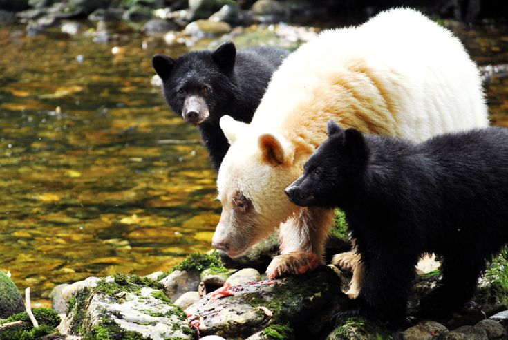 A white spirit bear mama and her two black cubs enjoy a salmon snack.