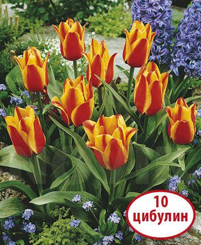 Інтерфлора Україна : Тюльпан Грейга Кейп Код - Тюльпани / Низькорослі тюльпани