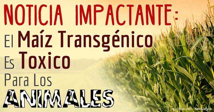 El consumo a largo plazo del maíz GM conocido como Bt176, el primer maíz Bt en ser comercializado como comida de animales en 1995, mostró ser toxico para el ganado.  http://articulos.mercola.com/sitios/articulos/archivo/2016/02/09/maiz-transgenico-toxico-para-los-animales.aspx