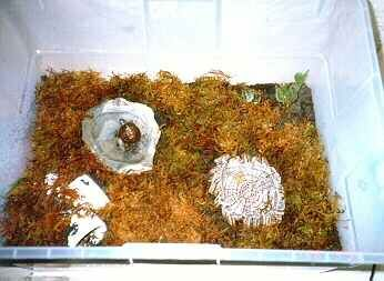 Box turtle eggs and care of hatchlings