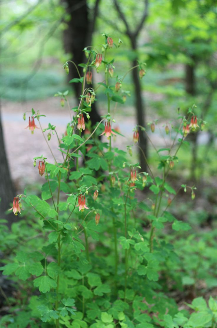 24 best native american plants images on pinterest native