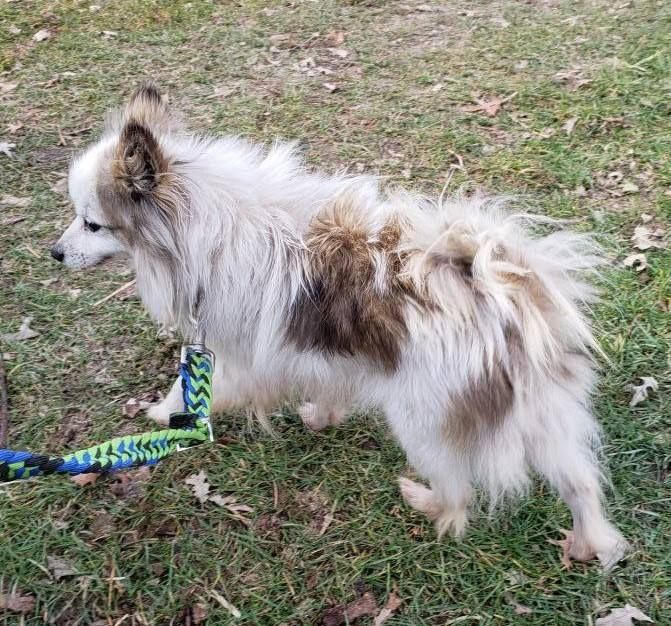 Is This Your Dog Viola Pomeranian Female Date Found 10 28