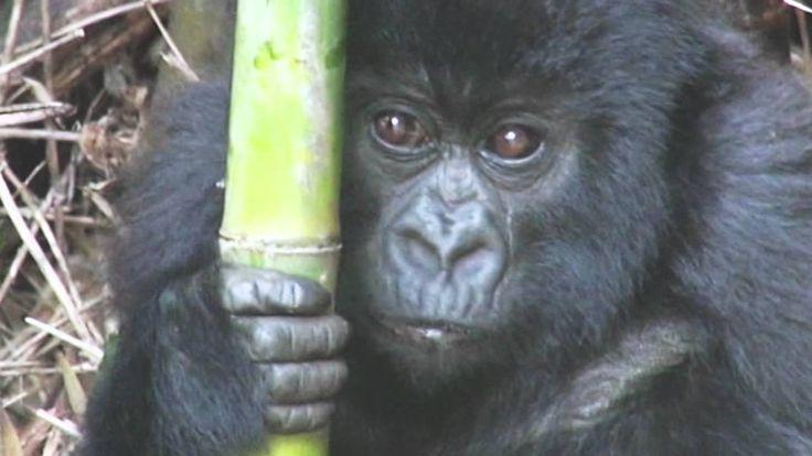 Дикая Африка. Руанда. Гориллы/Wild Africa. Rwanda. Gorillas