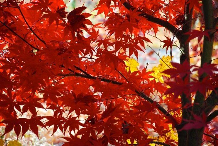 érable du Japon à feuillage impressionnant rouge