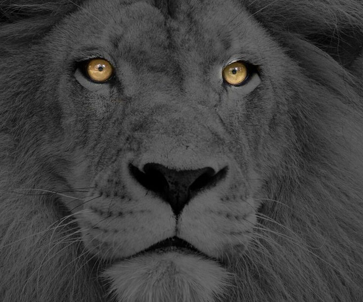 Lion With Glowing Eyes Big Cat Pics Pinterest Eyes