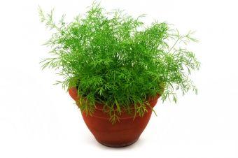 Выращиваем укроп и петрушку на подоконнике