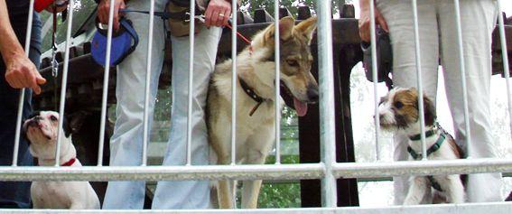 Tschechoslowakischer Wolfshund ind er Hundeschule