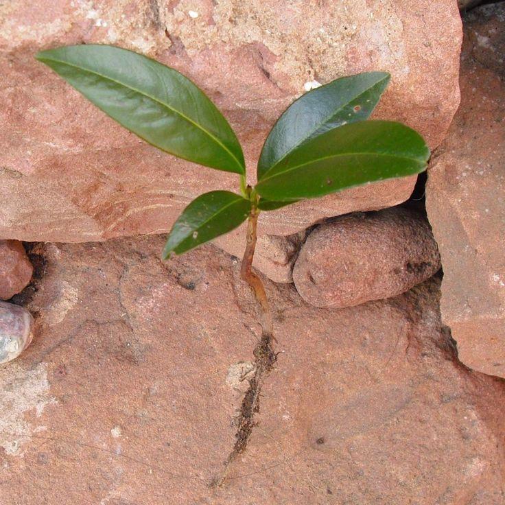 Kirschlorbeer vermehren durch Stecklinge oder Wurzelziehen im Wasser