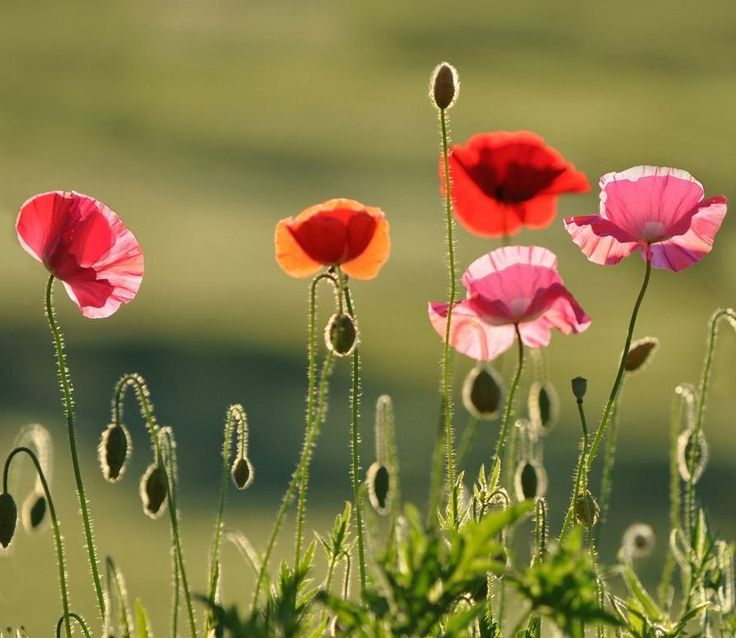 Poppies Flowers Field Nature Red Wallpapers Hd Widescreen