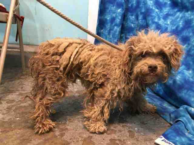 Foster Miniature Poodle Surrendered In Taped Up Box With His Head