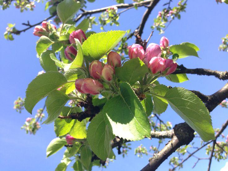 Flower bud apple tree pink sky