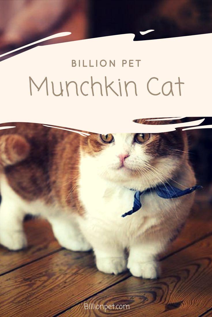 munchkin cat #munchkincat #cats
