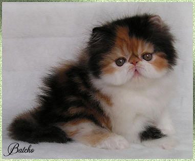 Exotic persian kittens for sale in ohio
