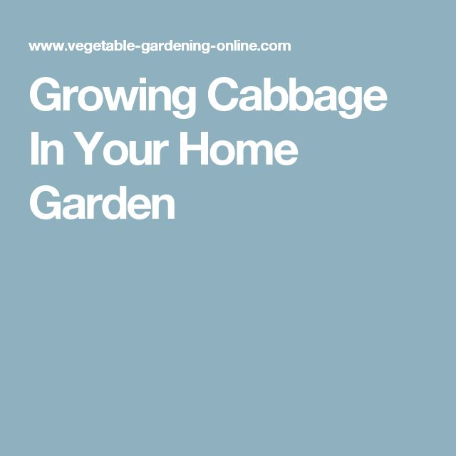 Growing Cabbage In Your Home Garden