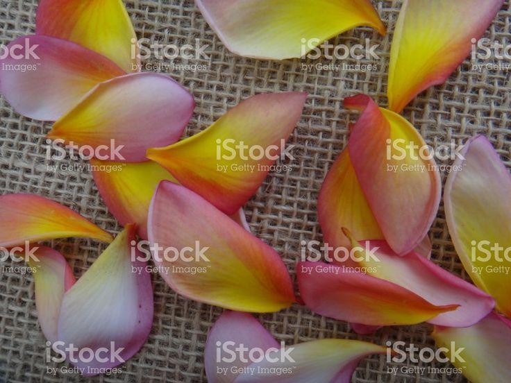 Pétalas de Plumeria rubra sábio Tricolor ou Jerusalém foto royalty-free