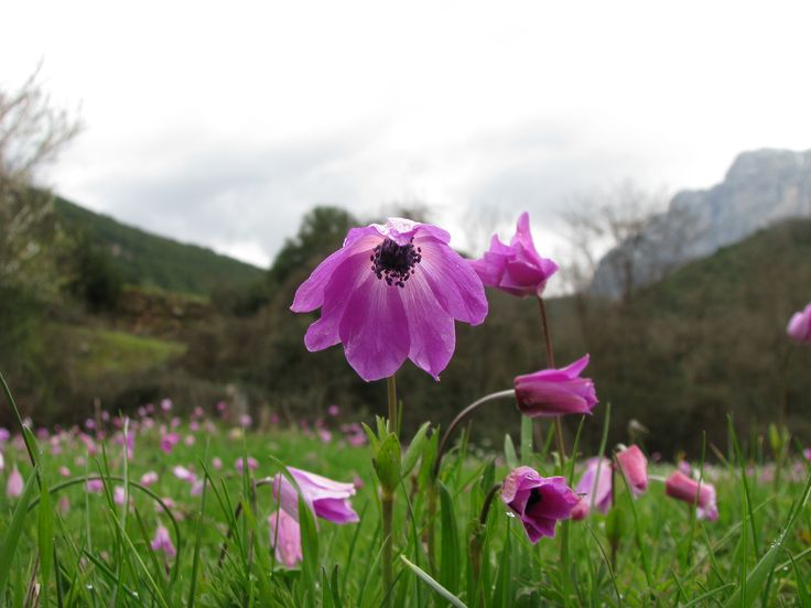 flowers , ανεμωνη