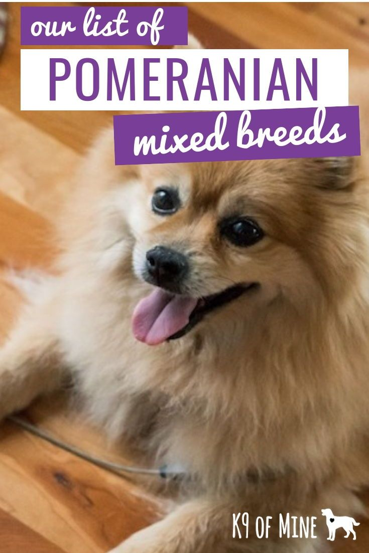 16 Pomeranian Mixes All Different Kinds Of Pomi Perfection Pomeranian Mix Pomchi Dogs Pomeranian Dog