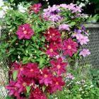 Scarlet Leatherflower: Clematis Texensis: Organic Gardening
