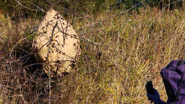 destruction d'un nid de frelon à hauteur d'homme en octobre 2012