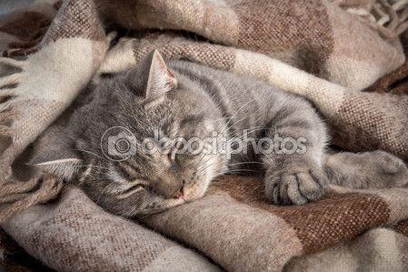 Портрет отечественный кот, британские, без людей, спать — Стоковое фото ©…