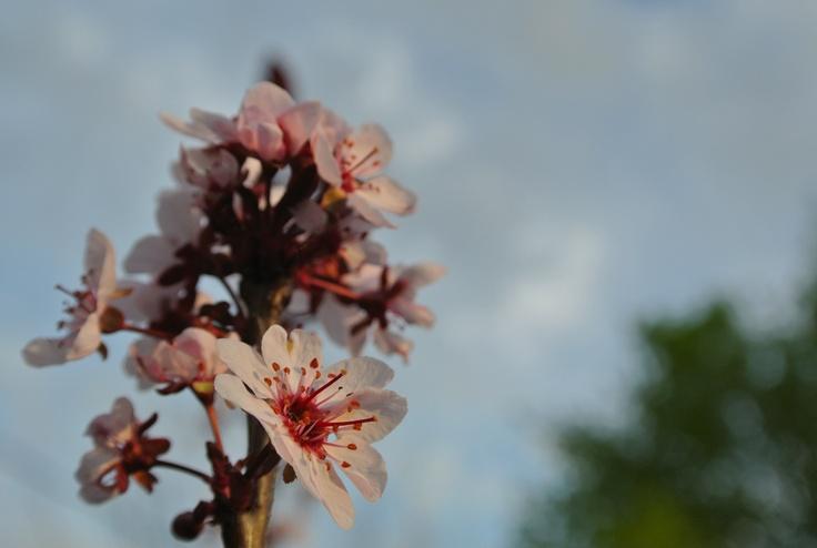 Cerisier des sables