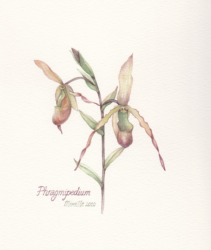Pragmipedium, watercolor by Mireille Belajonas, 2010