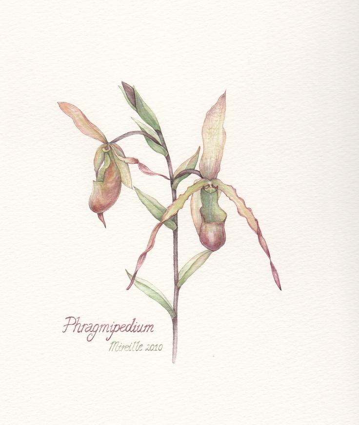 Pragmipedium, watercolor by Mireille Belajonas, 2010