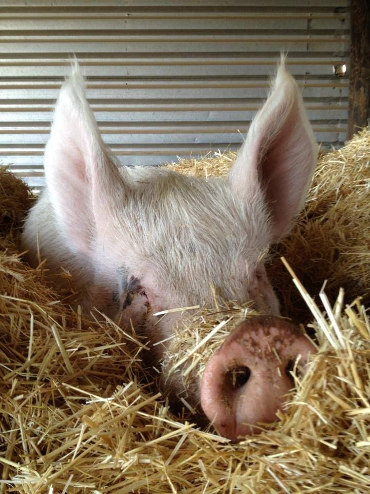 pig in the hay