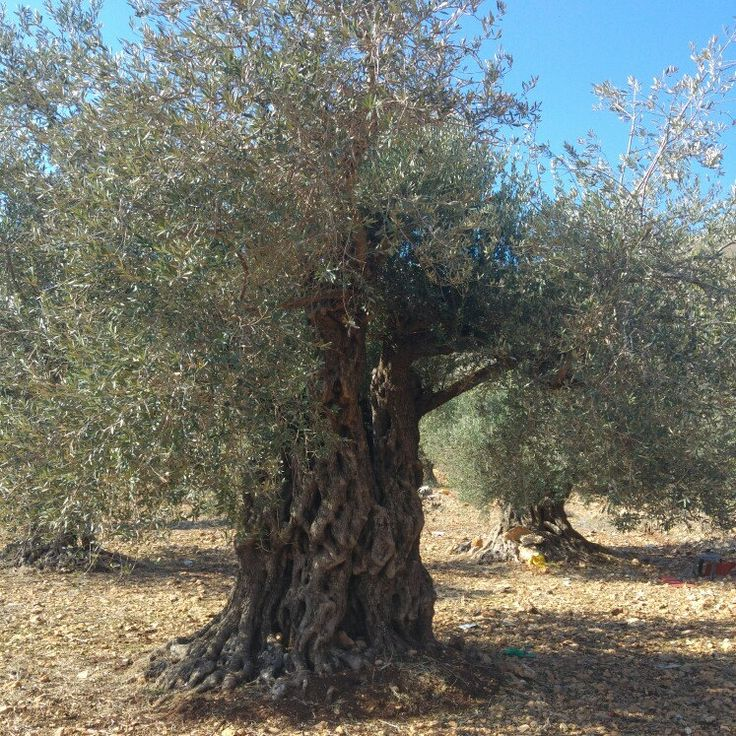 The longevity of the olive tree, its broad roots, biblical sources snd the abundsnce of profucts it brings to man make it a dymbol of health, peace and prosperity. I invite you to enjoy my olive leaves jewelry.