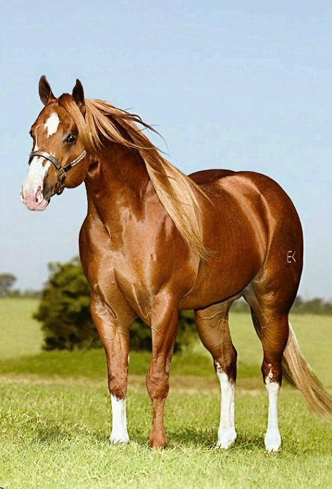 American Quarter horse stallion, One More Leo, standing in Brazil.