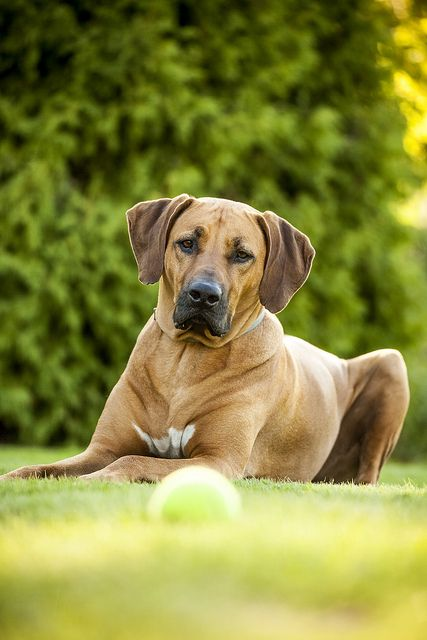 """Majestic Rhodesian Ridgeback ~ """"Can't touch this.""""  -----  (Photo by JosefineKphotography*)"""