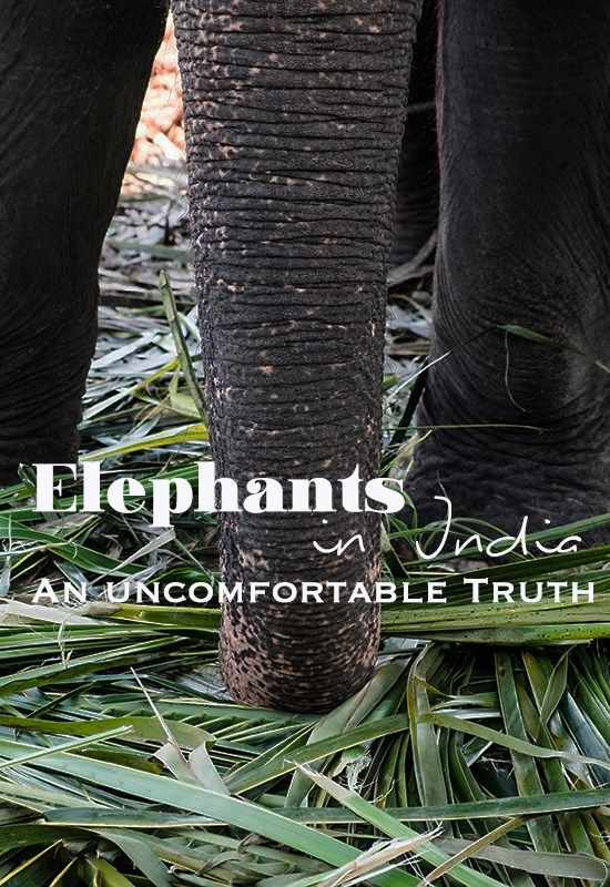 Elephants in India - An uncomfortable Truth. | The Midnight Blue Elephant
