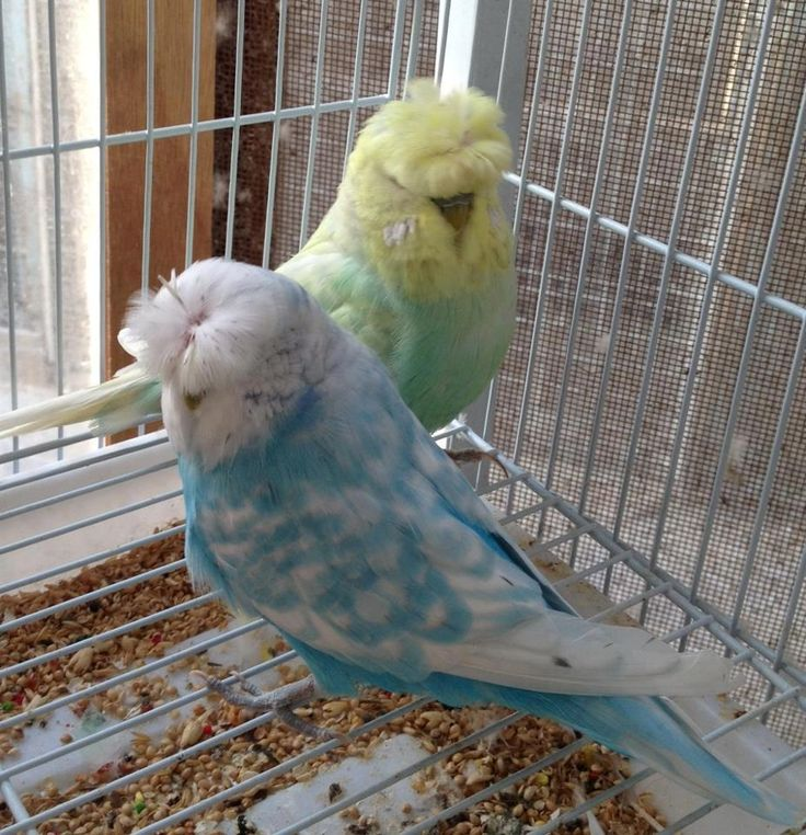 how to tell if your parakeet is molting