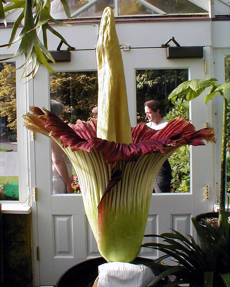 Seattle Parks Recreation Volunteer Park Conservatory Corpse Flower Types Of Flowers Rare Flowers