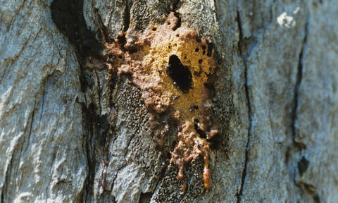 #Tetragonula carbonaria hive after rain I photographed this Tetragonula hive for a couple of years until it was destroyed in the 2002 firestorm... this pic shows the state of the entrance after heavy rains photo nimpitja