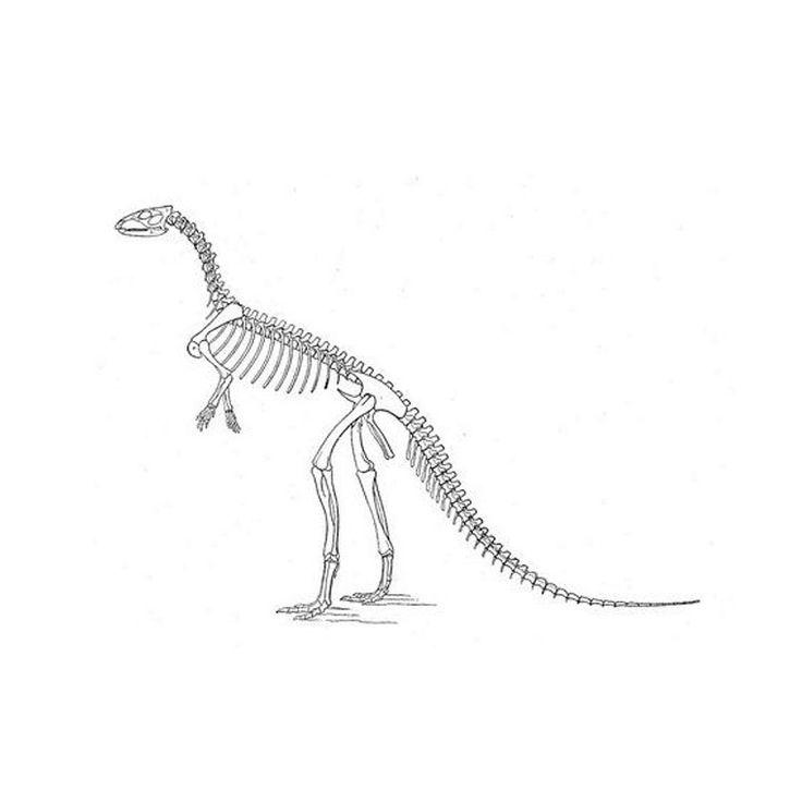 Coloriage Squelette Dinosaure