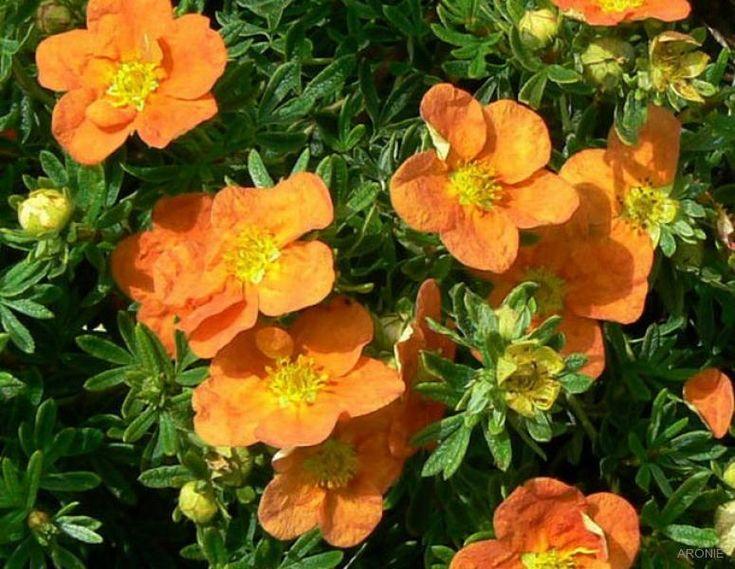 Mochna křovitá Tangerine