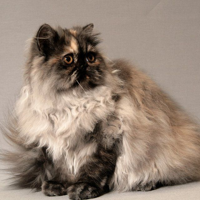 Le PERSAN est un chat calme, aimant vivre en plein air. Retrouvez cette race de chat dans la CHATTERIE DU PAIRI DAEZA sur Eleveurs & Pedigree.