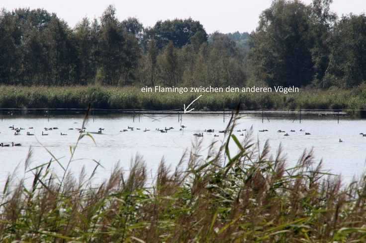 Flamingos-in-Nordrhein-Westfalen-2