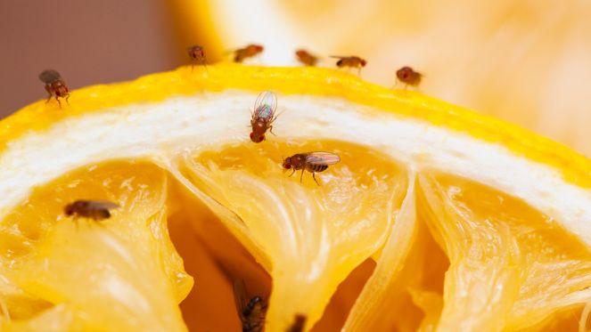 17 parasta ideaa Fruchtfliegenfalle Pinterestissä Fruchtfliegen - hausmittel gegen ameisen in der küche