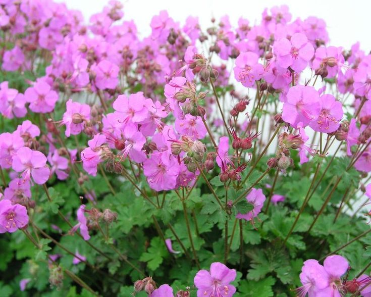 Geranium Biokovo Karmina -- Bluestone Perennials
