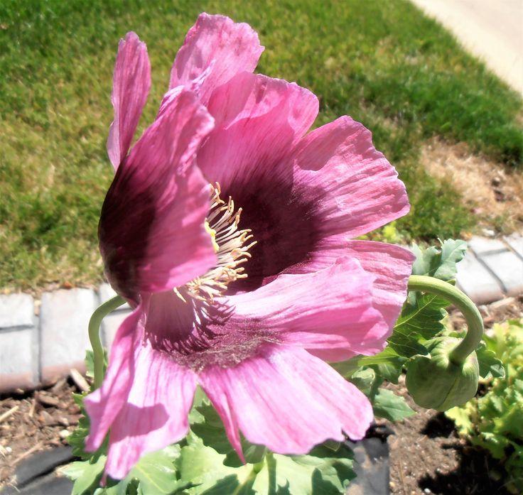 Poppy -  lavender-rose coloured flower.