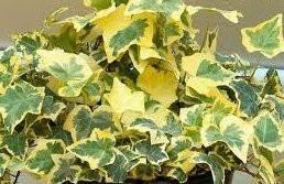"Hedera helix ""variegata"" - English Ivy ""Variegata"""